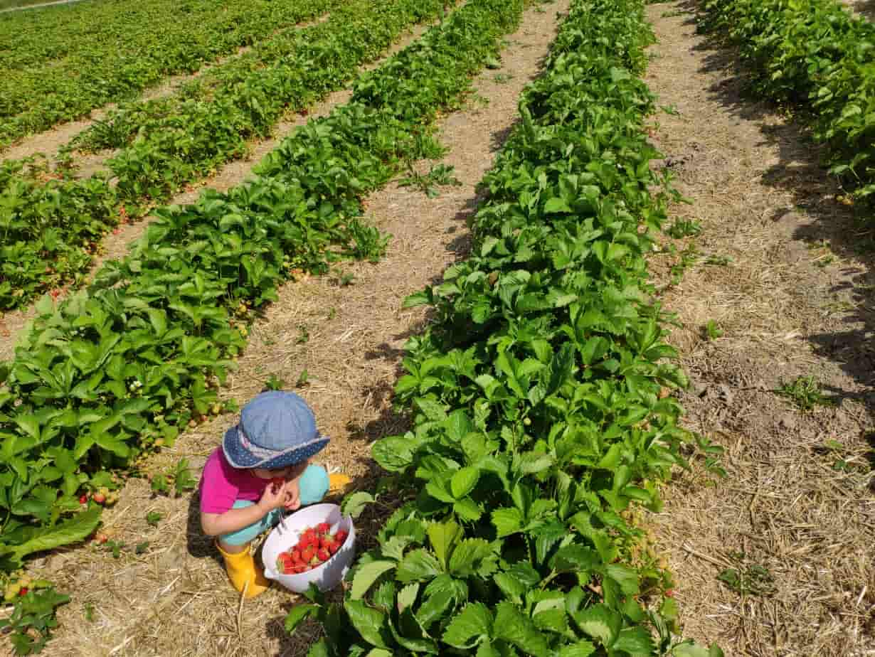 my kid picking strawberries in the field mini_strawberry waffle recipe - strawberry season in Germany_my life in germany_hkwomanabroad-min